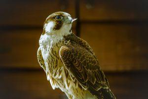 Barbary falcon (Falco pelegrinoides). Photo by Jason Halsall.
