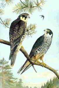 Eurasian hobby (Falco subbuteo).