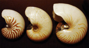 Three present-day nautilus species. Left to right,  N. macromphalus (left), A. scrobiculatus (centre), N. pompilius (right). Photo by User:Mgiganteus1.
