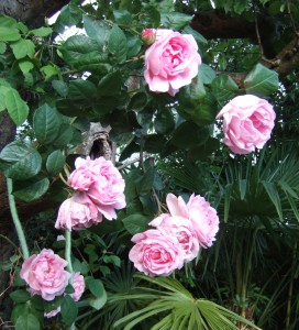 Rosa 'Constance Spry' growing up an apple tree in my sister's garden in Devon.
