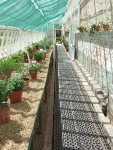 The restored glasshouse with the beautiful collection of species and variety pelargoniums.