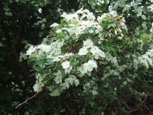 May blossom. The hawthorn flowers certainly look nicer than they smell! (Crataegus monogyna).