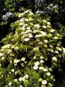 Elderflower (Sambucus nigra). Photo by kku.