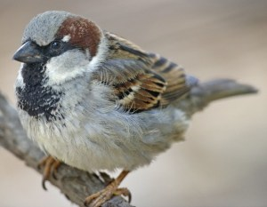 Male house sparrow (Passer domesticus). Photo by Lip Kee Yap.
