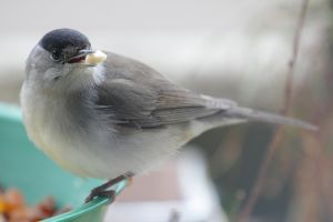 Male blackcap (Sylvia atricapilla). Photo by Spacebirdy.