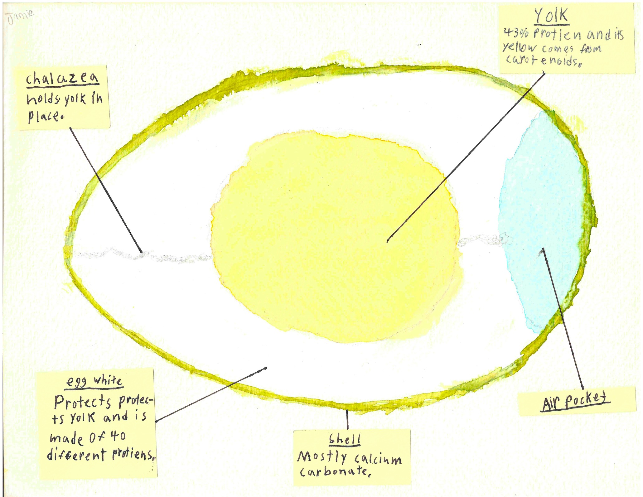 Egg Structure Study