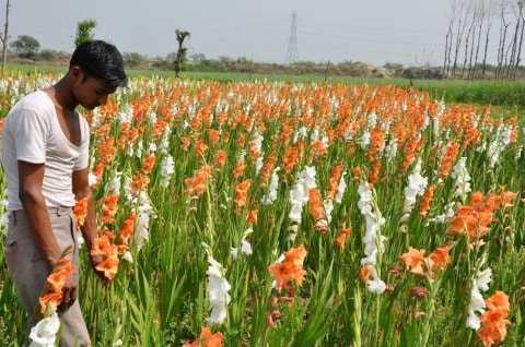 Gladiolus Flower Farming