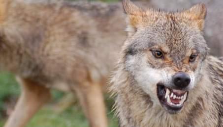 Imagen de lobo de Diversidad visual