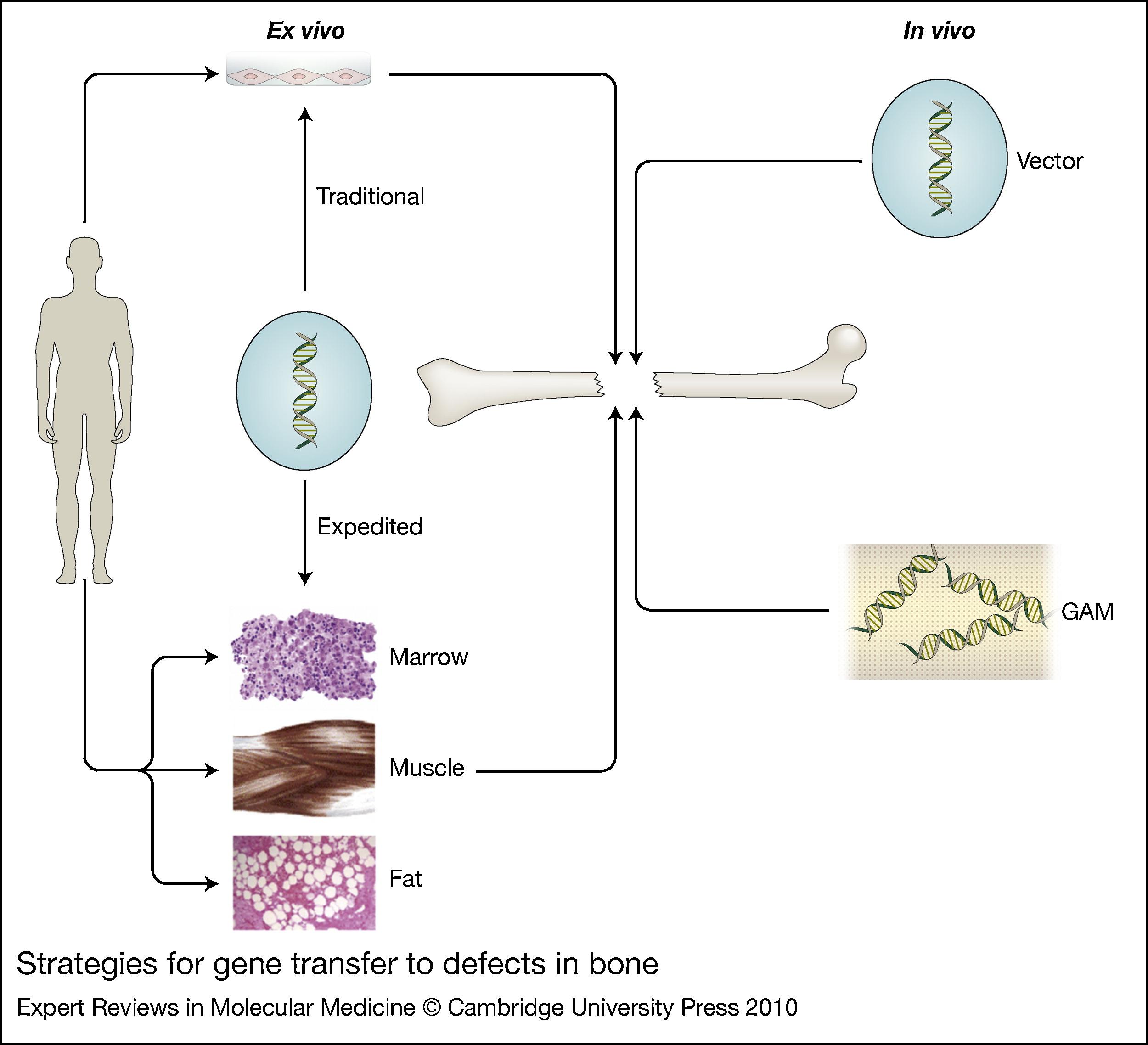 in vivo gene therapy diagram refrigerator start relay wiring for the regeneration of bone injury