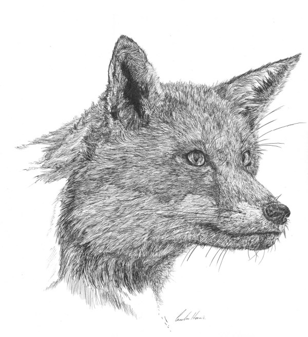 Fox Pen and Ink Animal Drawing