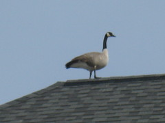 A Canada goose hanging out on the roof of Alice Bisset Place