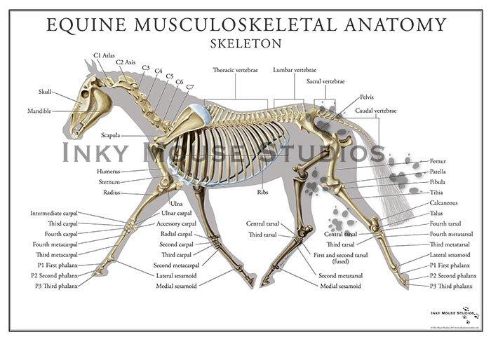 Equine Skeletal System Poster