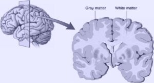 Gray Matter and White Matter