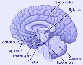 How to increases the volume of the hippocampus meditation and yoga hippocampus ccuart Gallery