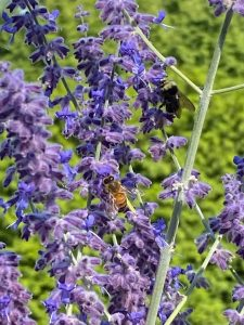 Bees on lavender at the Portland Rose Garden.
