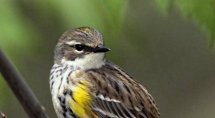 North Carolina Mountain Birds Yellow-rumped Warbler