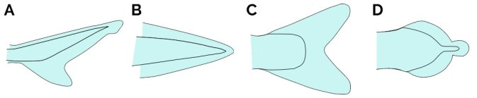 Tipos de aleta caudal