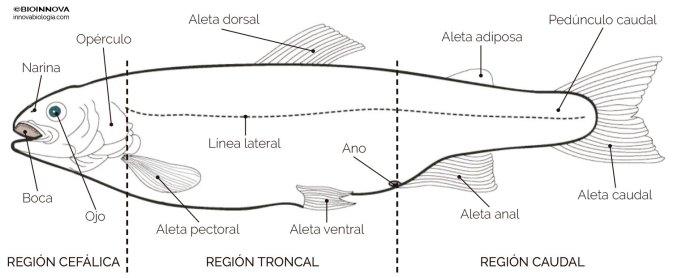 Anatomía externa de una trucha (esquema)