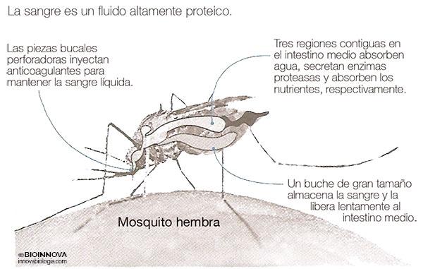 Mosquito hembra