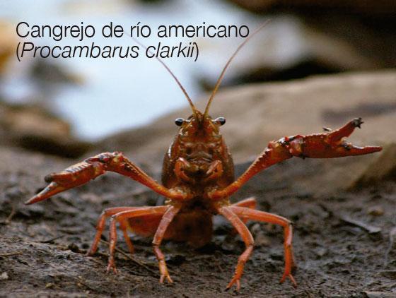 Cangrejo de río americano