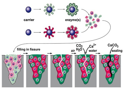 Self-healing products Innovative enzymatic route to produce calcium carbonate