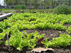 lettuce (possibly mesclun) at an urban farm, A...
