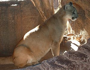 Cougar, photographed in the Arizona-Sonora Des...