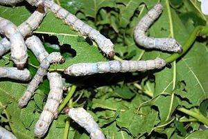 Fourth Instar Silkworm Larvae