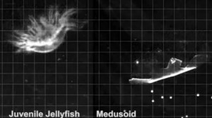 Artificial jellyfish created from rat heart tissue and silicone