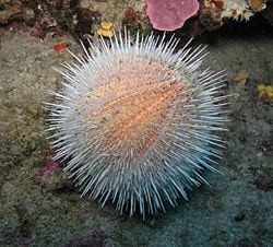 Could the humble sea urchin hold the key to carbon capture?