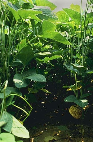 Widely used nanoparticles enter soybean plants from farm soil