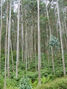 The GM tree plantations bred to satisfy the world's energy needs