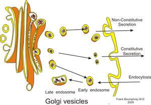 English: Golgi apparatus and secretory vesicles