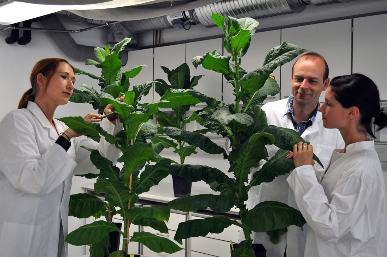 Giant tobacco plants that stay young forever