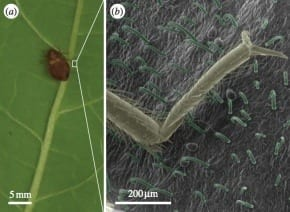 Bean leaves can trap bedbugs, researchers find