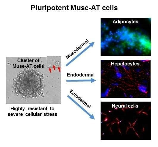 Fat chance: Scientists unexpectedly discover stress-resistant stem cells in adipose tissue