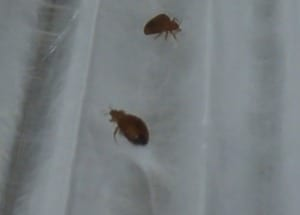 small_SBU_-_trapped_bed_bugs