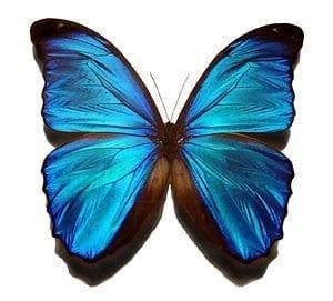 Blue_morpho_butterfly
