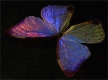 male_morpho_butterfly_page