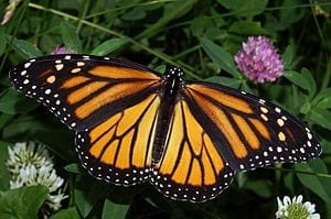 300px-Monarch_In_May