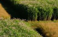 The first decade: Team reports on U.S. trials of bioenergy grasses