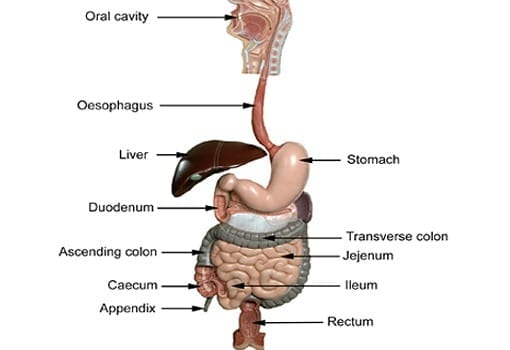 A diagram of the human gastrointestinal tract