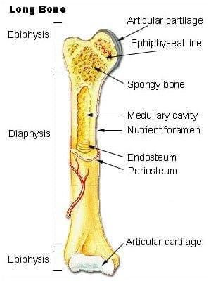 Parts of a long bone (Photo credit: Wikipedia)