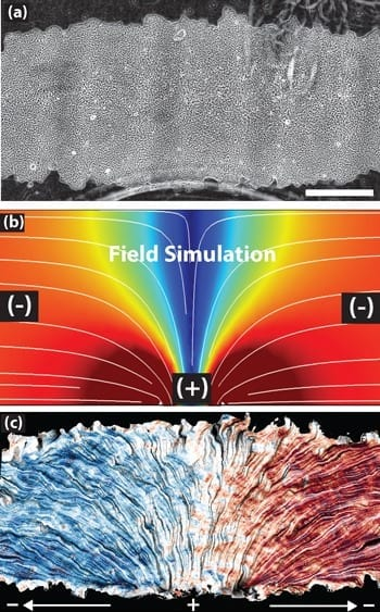 The top image shows a patch of epithelial cells. The white lines in the middle image mark the electric current flowing from positive to negative over the cells. The bottom image shows how the cells track the electric field, with blue indicating leftward migration and red signaling rightward movement. (Images by Daniel Cohen)