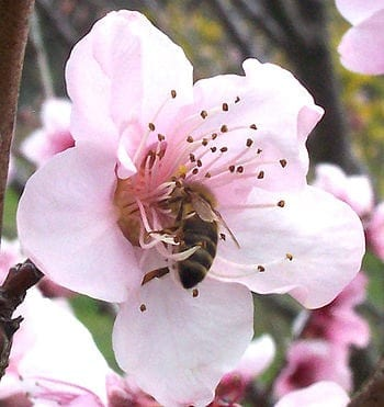 A honey bee collecting nectar from an apple flower. (Photo credit: Wikipedia)