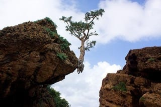 frankincense tree (Photo credit: Alexbip)