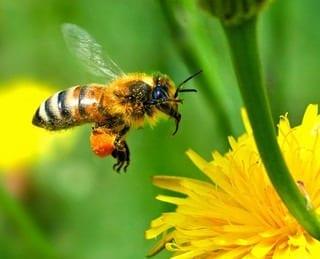 European Honey Bee Touching Down (Photo credit: autan)