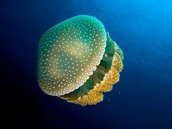 English: Phyllorhiza punctata Lendenfeld, 1884 Category:Phyllorhiza punctata Category:Marine life of Haiti (Photo credit: Wikipedia)