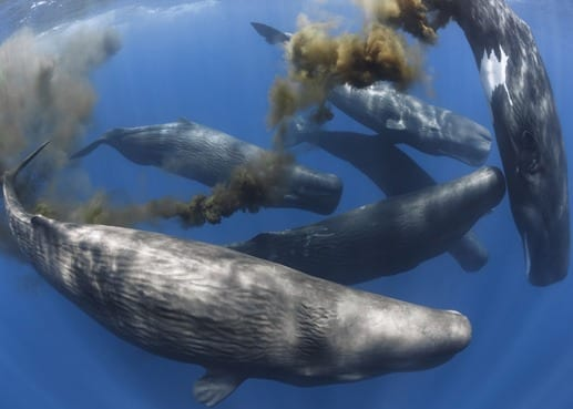 """After feeding at depth, sperm whales off the coast of Sri Lanka return to the surface — and poop. This """"whale pump"""" provides many nutrients, in the form of feces, to support plankton growth. It's one of many examples of how whales maintain the health of oceans described in a new scientific paper by UVM's Joe Roman and nine other whale biologists from around the globe. (Photo: Tony Wu)"""