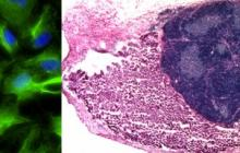 Fully functional immune organ grown in mice from lab-created cells